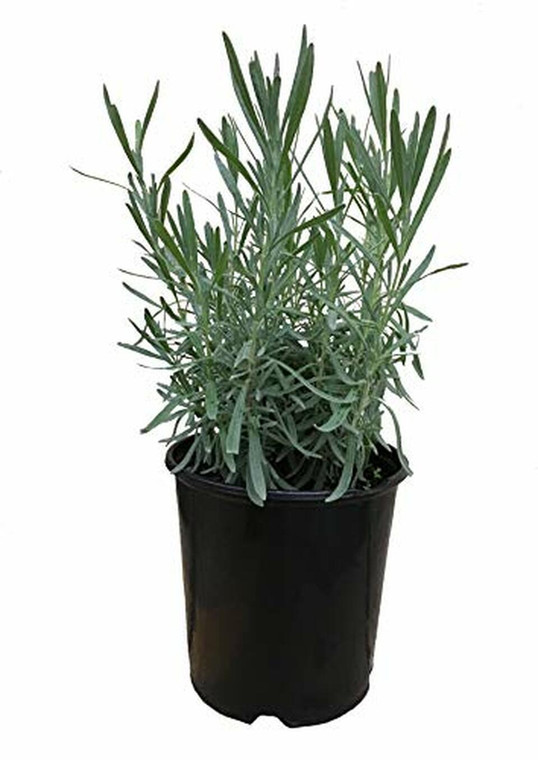 Grosso Phenominal 4 inch Plants (shipping option) Beggining MAY 1