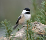Attract Colorful Songbirds to Your Feeder Station: Chickadees, Tufted Titmouse & Nuthatch