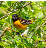 Attract Colorful Songbirds to Your Feeder Station:  Orioles