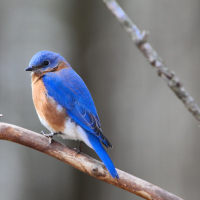Attracting Bluebirds to Your Yard