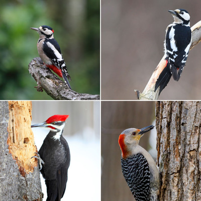 Attract Woodpeckers to Your Feeders