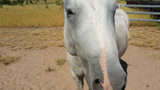 Big Head and Oxalate Poisoning - a revolutionary approach that is improving horse welfare in tropical Australia