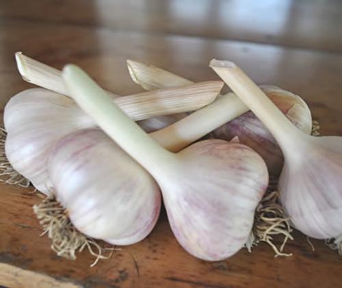 German Porcelain White Seed Garlic, 1 Pound