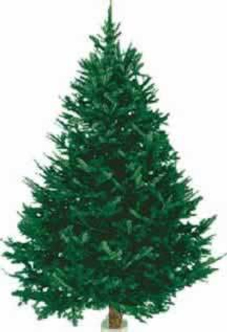 Balsam Fir Fresh Cut Christmas Trees, 6-8 Feet