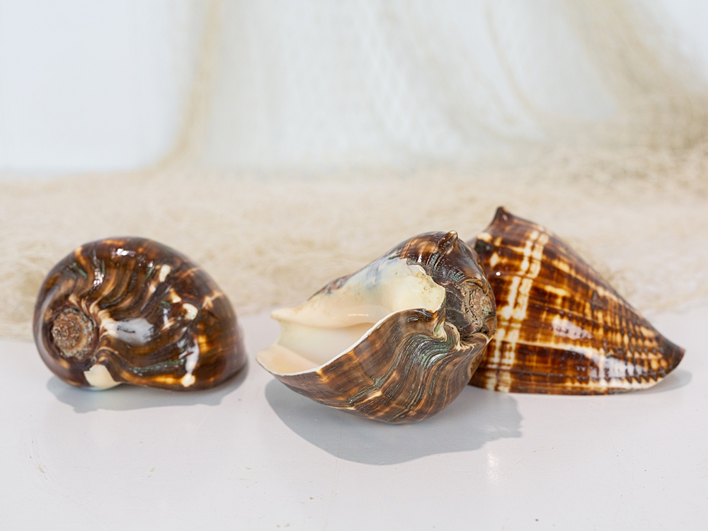 Brown Conch Shell  #7622