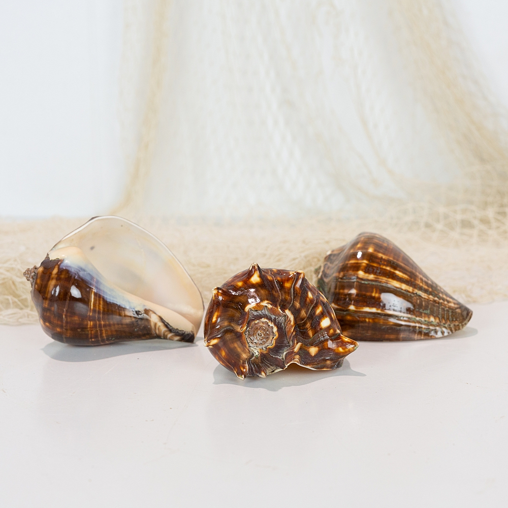 Brown Conch Shell  #1125