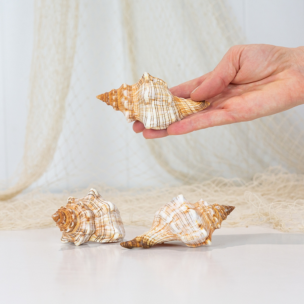 Stripe Cone Shell  #2204