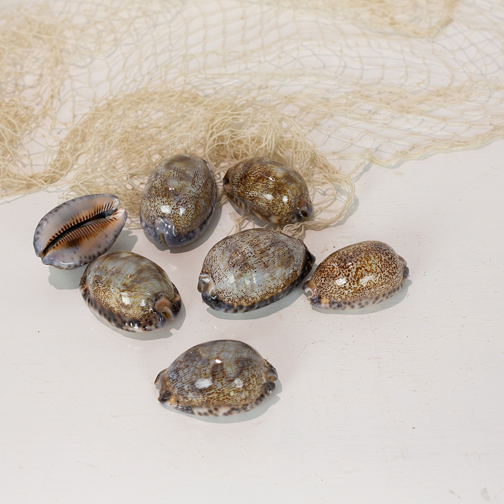 Cowrie Shell - Patterned (L)