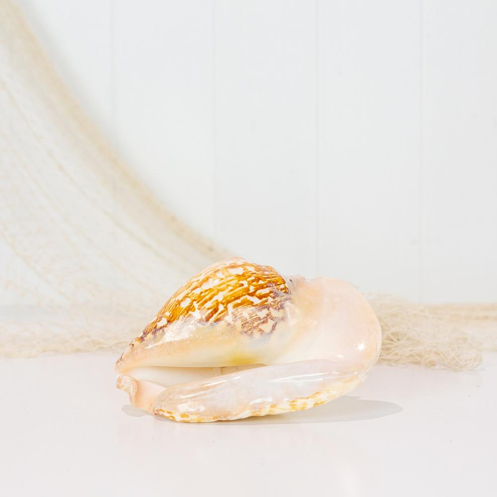 Strombus Shell Natural #4243