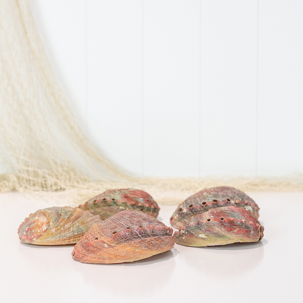 Mexican Abalone Shell - L #4722