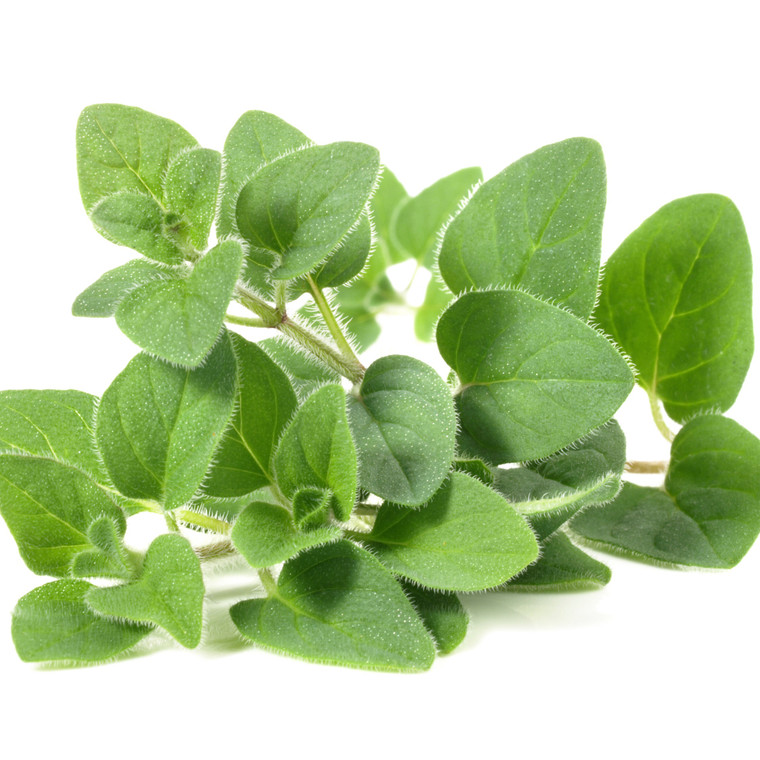 Fresh bunch of Oregano leaves on a white background.