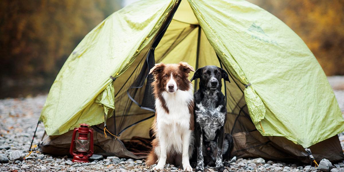 campingdogs.jpg