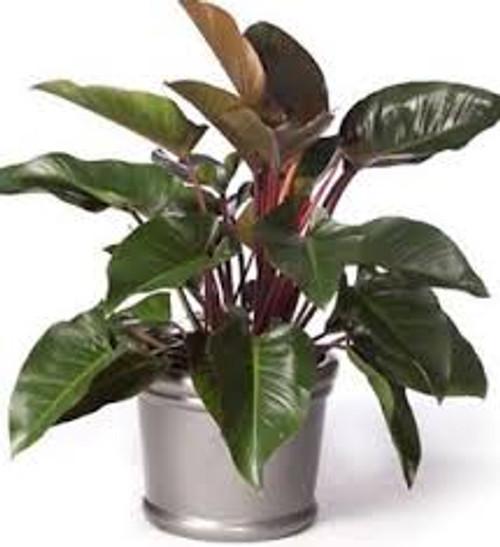 "6"" Philodendron Congo Rojo"