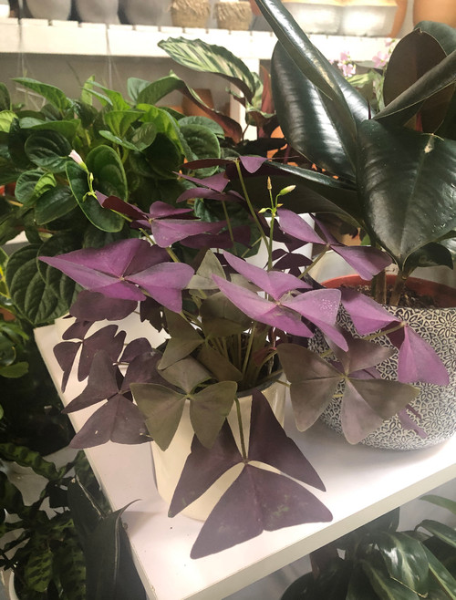 "4"" Purple Oxalis Triangularis"