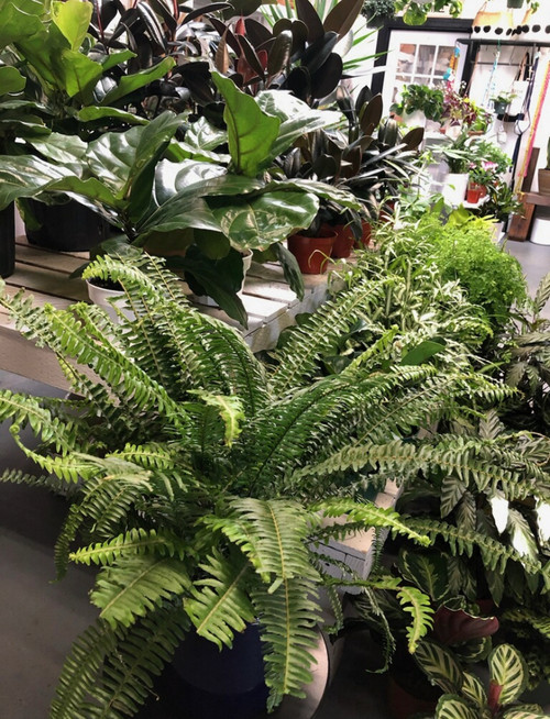 "8"" Kimberly Fern"