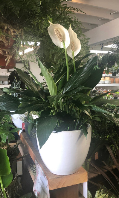 "4"", 6"", 8"" Peace Lilly"