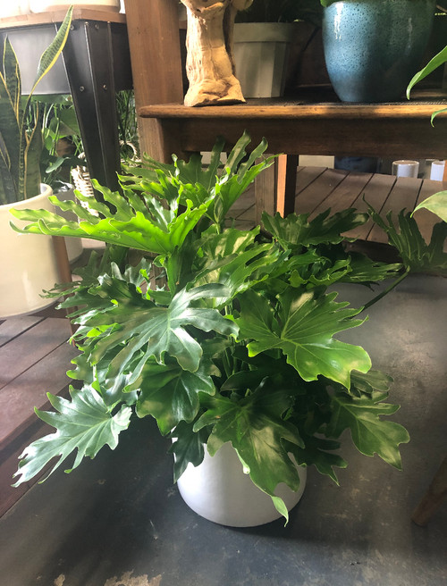 Lickety Split Philodendron 8""