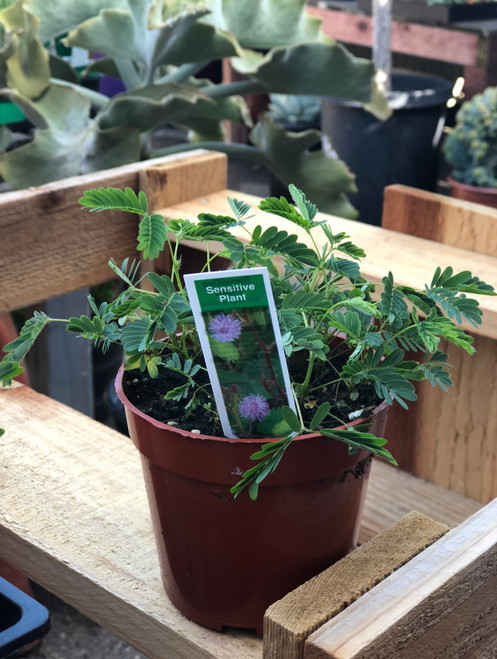 "4"" Sensitive plant/mimosa pudica"