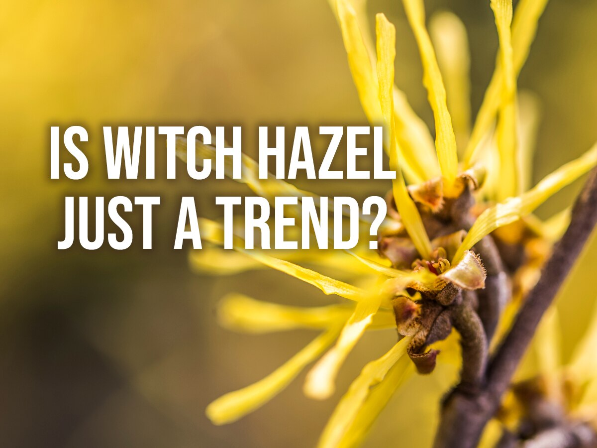 Fad or Fact? The Many Uses and Benefits of Witch Hazel