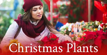 Christmas Poinsettias by Salvy the Florist