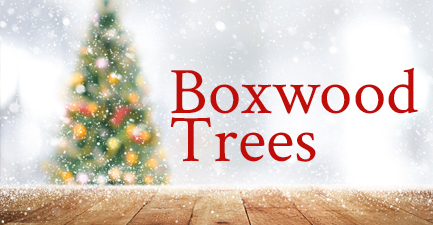 Boxwood Trees by Salvy the Florist