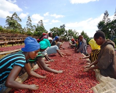 ethipoia-guji-coffee-farm.jpg
