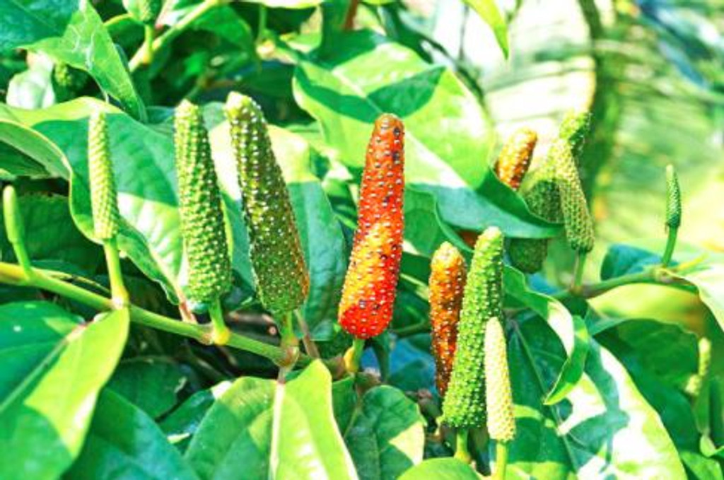 The scent of Bengal pepper is similar to its cousin, black pepper, but stronger and sharper. This spicy aroma recalls well seasoned food and a disticntly peppery accords.
