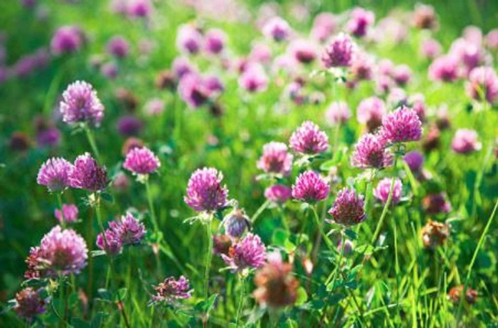 This fresh smell of the purple clover has a sweet and fruity tone with a hint of grape.