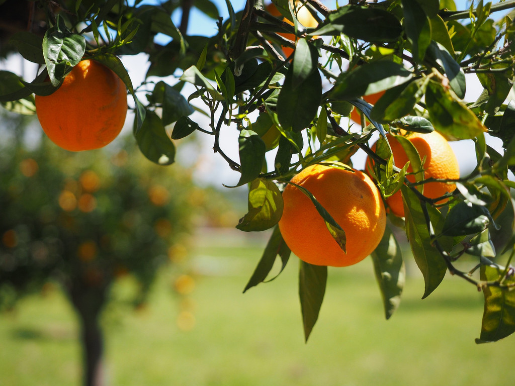 The fruity, unmistakable scent of a freshly squeezed orange. Slightly lighter than our Seville Orange aroma.