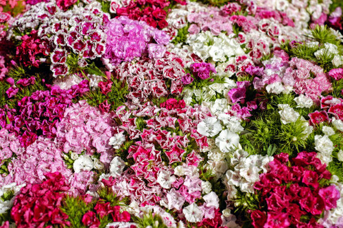 The beautiful yet delicate scent of blooming carnations. A clear and floral aroma that brings an air of pleasent clarity to a space.