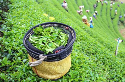 A green aroma of actual tea leaves rather than a breakfast tea with milk and sugar as we're used to.
