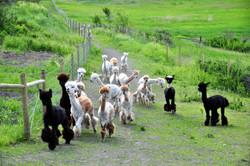 Alpaca Tour - Camelot Haven Alpacas