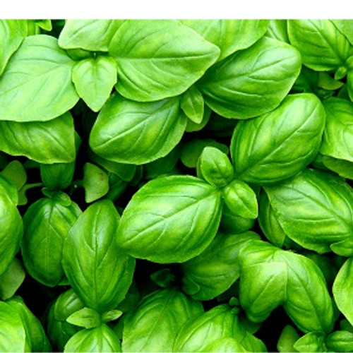 Basil Essential Oil 100% pure. 12ml