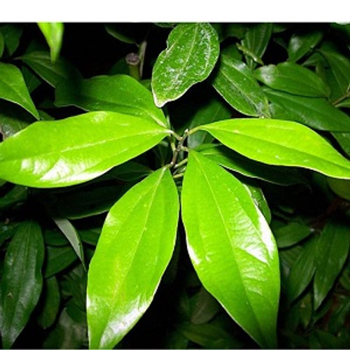 Cinnamon Leaf Essential Oil 100% pure. 12ml
