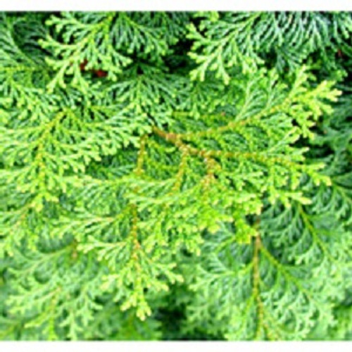 Cypress Essential Oil 100% pure. 12ml Tightens Loose Skin & Muscles Heals Wounds Cures Spasms Increases Urination Regulates Blood Flow Tones Respiratory System Promotes Sweating Eliminates Odor Maintains Liver Health Relieves Stress Prevent Excess Bleeding