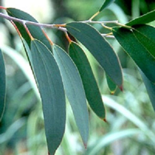 Eucalyptus Essential Oil 100% Pure. 12ml Heals Wounds Treats Respiratory Problems Removes Mental Exhaustion Relieves Muscle Pain Dental Care Eliminates Lice Removes Intestinal Germs Skin Care Manages Diabetes Treats Fever Room Freshener Used as Soap Treats Tuberculosis & Pneumonia Oral Care Aromatherapy