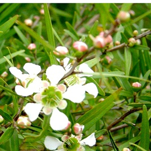 Lemon Scented Tea Tree Essential Oil 100% pure. 12ml Antiseptic, antimicrobial, carminative and sedative properties and can be used in aromatic blends for the oil burner to combat coughs and colds. It is also successfully used as a powerful insect repellent.