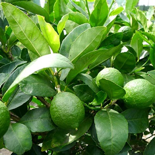 Lime Essential Oil 100% pure. 12ml Cures Infections Prevents Viral Infections Cures Toothaches Increases Appetite Treats Bacterial Infections Effective Disinfectant Reduces Fever Promotes Blood Coagulation Restores Health Prevents Signs of Aging