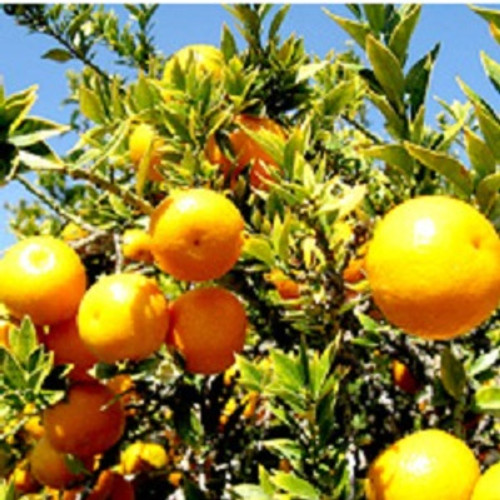 Sweet Orange Essential Oil 100% pure. 12ml Treats Spasms Sedative Effect Aphrodisiac Properties Relieves Inflammation Cholagogue Prevents Infections Relieves Depression Diuretic Acts as Tonic Carminative Properties Treats Alzheimer's disease Insecticidal Properties
