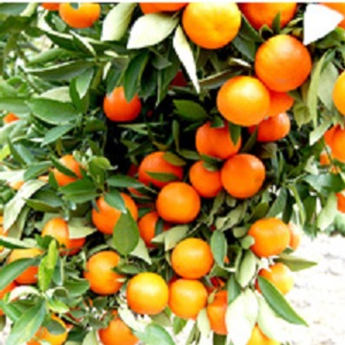 Tangerine Essential Oil 100% pure. 12ml Prevents Sepsis Acst as a Cytophylactic Purifies Blood Soothes Inflammation Boosts Digestive Health Relieves Spasms Acts as a Tonic