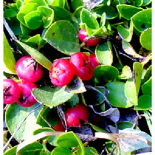 Wintergreen Essential Oil 100% pure. 12ml Acts as an Analgesic Induces Relaxation Fights Arthritis Relieves Spasms Prevents Microbial Infections Eliminates Foul Smells Acts as an Astringent Relieves Flatulence Promotes Urination Acts as an Emmenagogue Stimulates Blood Circulation