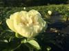 'Lemon Chiffon' - Roots