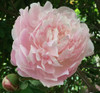 'Myrtle Gentry' - 100 stems