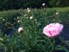 'Sarah Bernhardt' - 100 stems