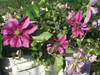 Clematis Vine- 10 bunches
