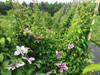 Clematis Vine- 5 bunches
