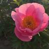 Roselette - Very Early Blooming