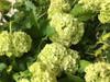 Snowball Viburnum - 5 bunches