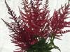 Astilbe - Burgundy - 100 stems