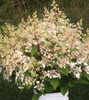 Lace Style Hydrangea (tapered heads) - 50 Stems